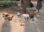 Dog training in Mexico City's Colonia Condesa