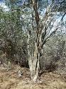 Estero De Yugo Mazatlan Cerritos Ebane tree