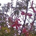 Oaxaca pochote tree