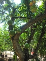 Vivero Yautepec Tecomate tree