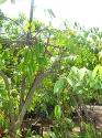 Vivero Yautepec Starfruit
