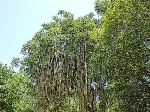 Vivero Yautepec Cucumber tree